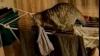 (VIDEO) Un pisoi a căzut în timp ce fura o pereche de chiloţi