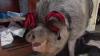 Boris, un porc din Australia, este pus la dietă