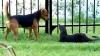 (VIDEO) Hârjoneală nebună între un câine şi o vidră