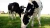 Seceta reduce producţia de lapte la Bălţi