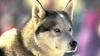 Ruşii ne-au promis un lup, dar ne-au trimis o lupoaică