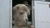Cămile fără acte: Au rămas blocate în vama Albiţa