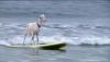 Capra pasionată de... surfing VIDEO