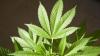 Elveţia legalizează marijuana de apartament