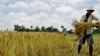 În Japonia a fost descoperit orez contaminat cu cesiu radioactiv
