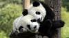 Cel mai scump ceai din lume va fi pe bază de excremente de panda