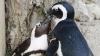 Discriminare: Doi pinguini gay vor fi mutaţi în cuşti diferite
