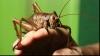 Cea mai grea insectă din lume cântăreşte cât trei şoareci FOTO