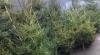 """Operaţia """"brazii"""" a eşuat: Pentru 18 arbori furaţi, riscă patru ani de închisoare"""