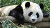 Femeile anului 2011 în viziunea BBC: Pippa Middleton, Charlene Wittstock şi o ursoaică panda