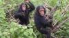 Cimpanzeii preocupaţi de medicina tradiţională