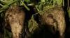 Producătorii de sfeclă de zahăr cer despăgubiri de circa 50 de milioane de lei pentru asigurarea recoltei
