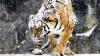 Tigrul siberian care doarme-dus, în ciuda ninsorii FOTO