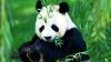 Diplomaţia ursuleţilor panda: Autorităţile chineze au dăruit Franţei doi pui de urs