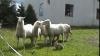 """Un """"iepuraş ciobănesc"""", stăpânul unei turme de oi (VIDEO)"""