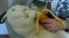 A schimbat morcovul pe banane. Vezi cum înfulecă iepurele fructul delicios