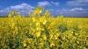 Rapiţa va fi compromisă de secetă în 2012: Fermierii vor pierde 50 de milioane de lei