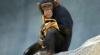 Cel mai bătrân cimpanzeu din Europa a murit