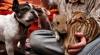 Şase pui de mistreţ au fost adoptaţi de un bulldog VIDEO
