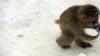 Pentru a suporta mai uşor gerul, maimuţele au băut vin fiert: Unele chiar fac abuz