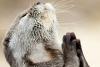 Fotografia care a cucerit internetul: O vidră se roagă la Dumnezeu