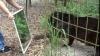 Cum reacţionează leii, panterele şi tigrii în faţa oglinzii (VIDEO)