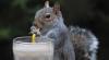 Veveriţă manierată: A învăţat să bea cu paiul FOTO