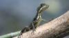 Şopârlele cosmonauţi: Rusia intenţionează să trimită reptile în spaţiu