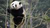 Excrementele de panda, secretul celui mai scump ceai din lume