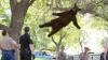 Atenţie! Cade ursul din copac VIDEO