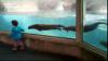 Distracţie la zoo: Mai multe vidre se joacă cu o fetiţă (VIDEO)