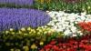 Chişinăul înfloreşte: Peste 130 de mii de flori vor fi plantate în Capitală