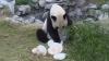 Un urs panda şi-a aniversat cei zece ani de viaţă cu tort şi fructe VIDEO