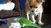 """""""Lupta"""" dintre un papagal şi un chihuahua pentru un iaurt. Cine câştigă? VIDEO"""