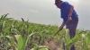 Pagube de milioane pentru agricultură din cauza temperaturilor caniculare