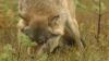 Locuitorii raionului Şoldăneşti, terorizaţi de lupi