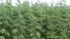 Plantaţie de cânepă, depistată în comuna Băcioi VIDEO