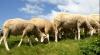 La Orhei se desfăşoară prima ediţie naţională a Expoziţiei-târg de ovine