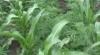 """Gospodari """"inventivi"""" la Edineţ. Spun că au plantat porumb, dar le-a răsărit cânepă VIDEO"""