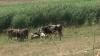 Ţăranii sunt nevoiţi să-şi vândă animalele, din cauza secetei
