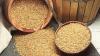 Mai puţină roadă: Recolta de grâu este cu 300 de tone mai mică decât anul trecut