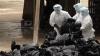 Gripa aviară face ravagii în Mexic: Au murit aproape 900.000 de păsări
