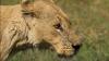 PREZICĂTOARELE DIN DALLAS. Două leoaice au prezis câştigătoarea finalei Super Bowl