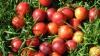 Pomul care face 11 feluri de fructe: Caise, prune, piersici, nectarine
