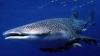 """Cel mai leneş rechin din lume """"aspiră"""" peştii din plasa pescarilor VIDEO"""