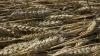 Seceta a prins Guvernul nepregătit. O treime din recolta de grâu, compromisă
