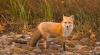 Vulpile au invadat satele din nordul ţării (VIDEO)