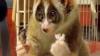 Un lemur care mănâncă orez a înduioşat o lume întreagă VIDEO