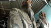 EXCLUSIV! Monumentul din bronz al lui Karl Marx a fost găsit. Acesta a fost ascuns într-o instituţie de stat VIDEO