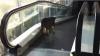 Râzi cu lacrimi! Un câine de rasă se uită STUPEFIAT la un maidanez care merge pe scara rulantă... în sens invers VIDEO